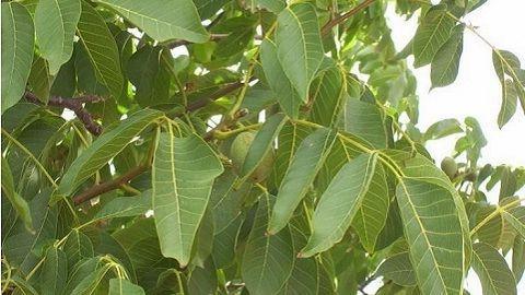 Зеленые грецкие орехи от щитовидки: рецепт настойки